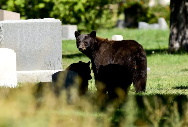 Bears in the Cemetery