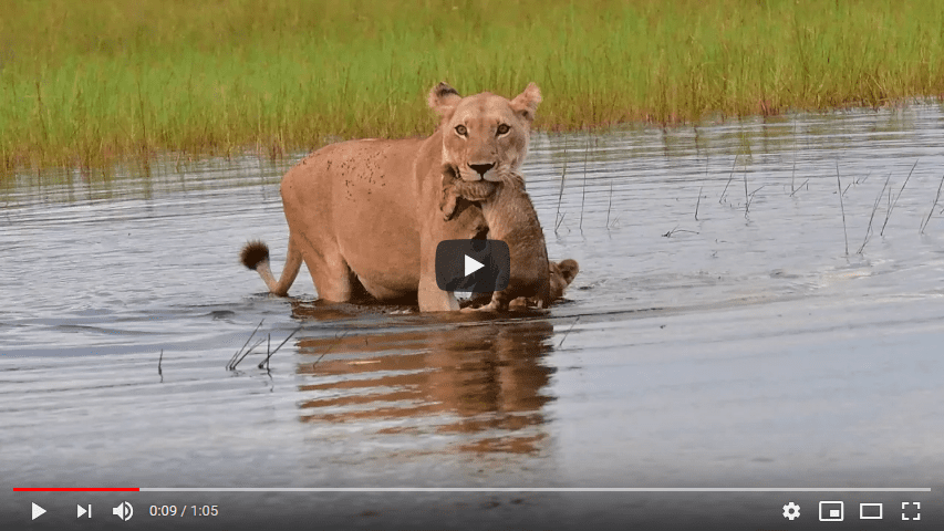 Screenshot_2020-04-13 Lioness and cubs water crossing