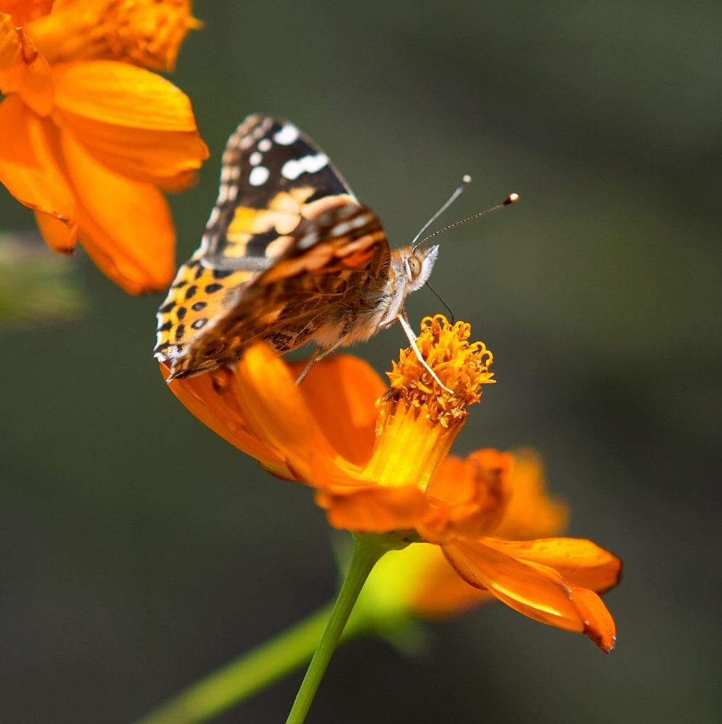 Pic of the Day - Butterflies in Boulder!