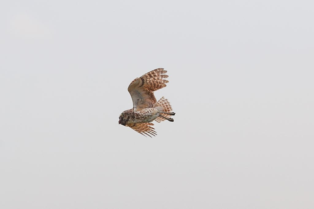 Pic of the Day - Flying Owl