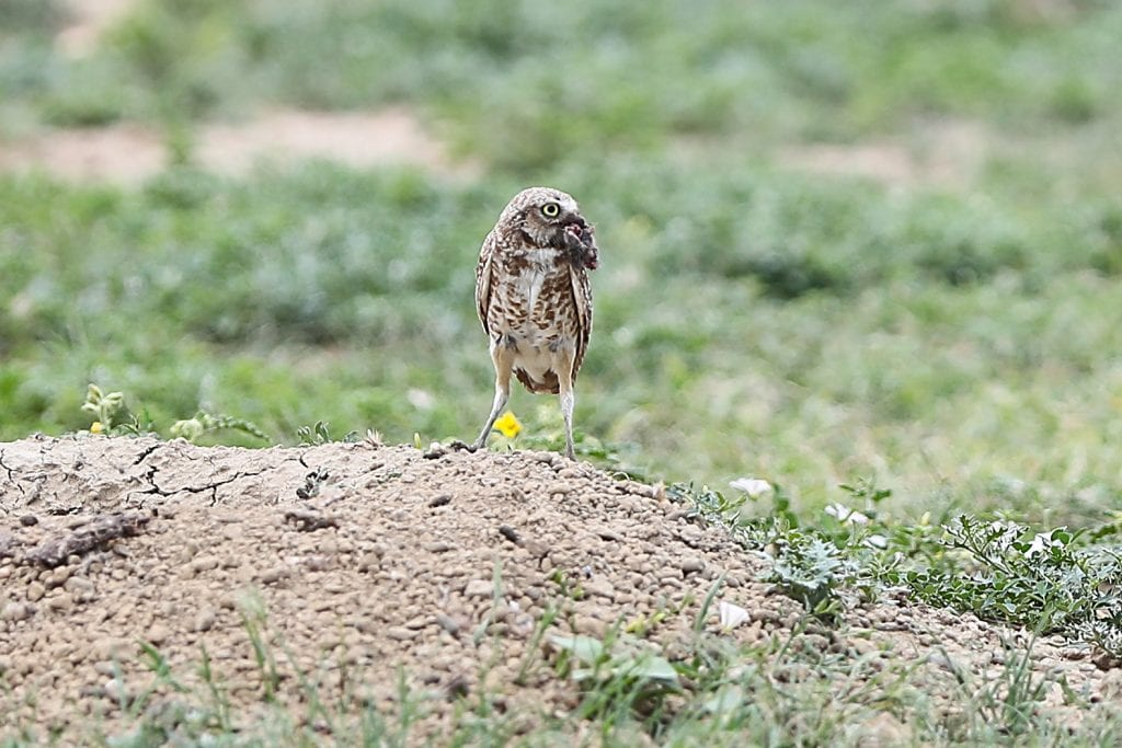 Pic of the Day - Burrowing Owl