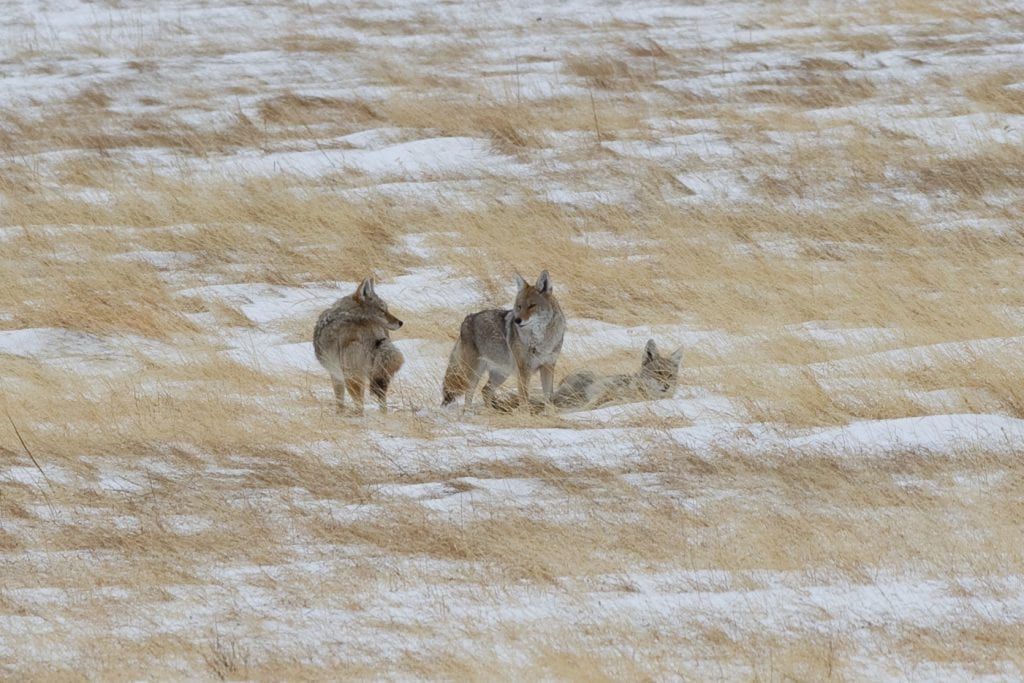Pic of the Day - Coyotes in Boulder!